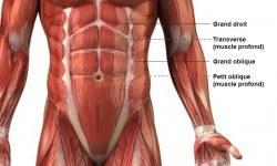Abdominaux – Anatomie