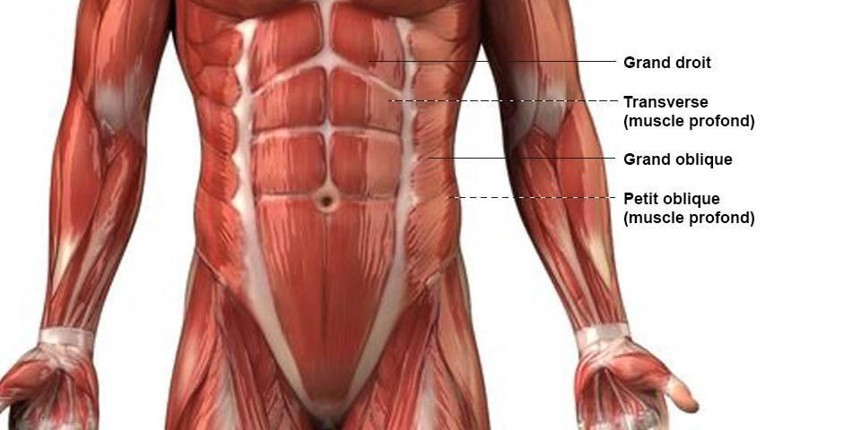 Abdominaux - Anatomie