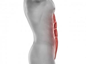 Abdominaux - Anatomie - Grand droit