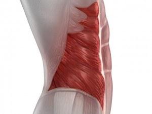 Abdominaux - Anatomie - Oblique externe