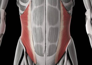 Abdominaux - Anatomie - Oblique interne