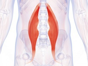 Abdominaux - Anatomie - Psoas iliaque
