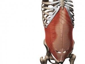 Abdominaux - Anatomie - Transverse