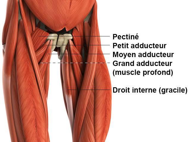 Adducteurs - Anatomie
