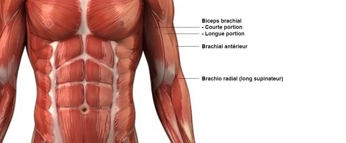 Biceps - anatomie