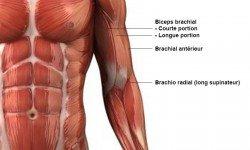 Biceps – Anatomie
