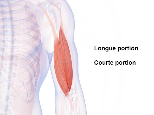 Biceps - Biceps brachial - Anatomie