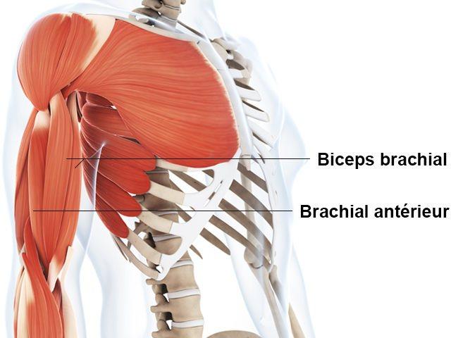 Biceps - Brachial antérieur - Anatomie