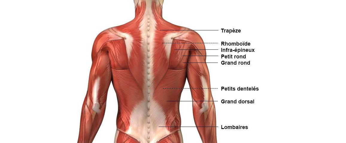 Dos - Anatomie