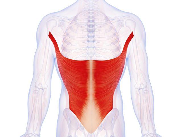 Dos - Grand dorsal - Anatomie