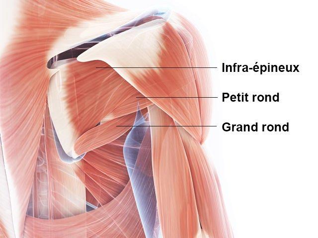 Dos - Sous-épineux - Petit rond - Grand rond - Anatomie