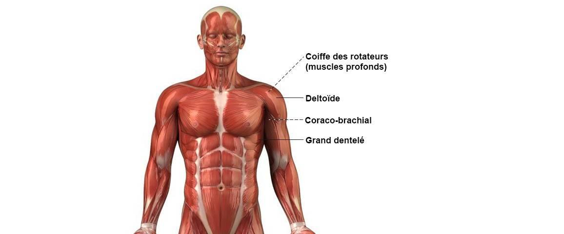 Épaule - Anatomie