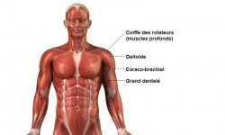Épaule – Anatomie
