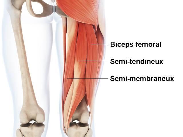 Ischio-jambiers - Anatomie