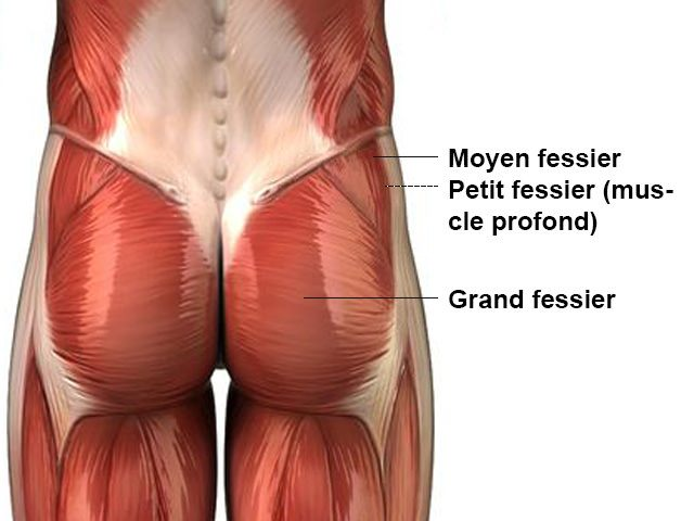 Fessiers - Anatomie
