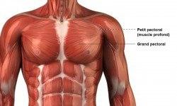 Pectoraux – Anatomie