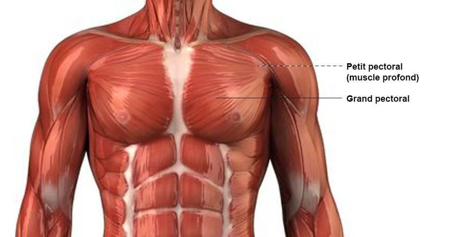 Pectoraux - Anatomie
