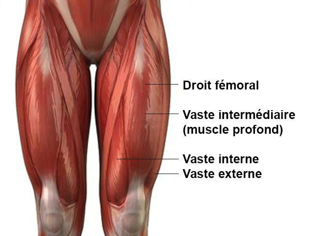 Quadriceps - Anatomie