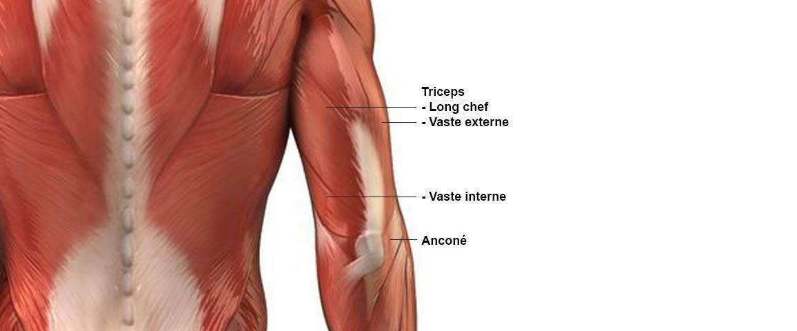 Triceps - Anatomie