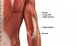 Triceps – Anatomie
