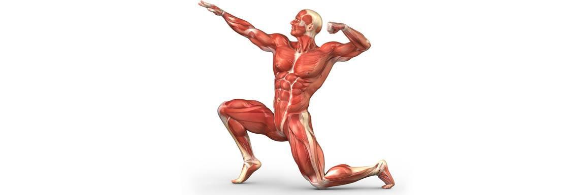 Anatomie – Musculation