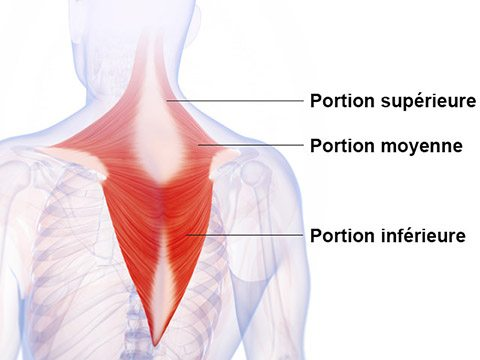 Dos - Trapèze - Anatomie