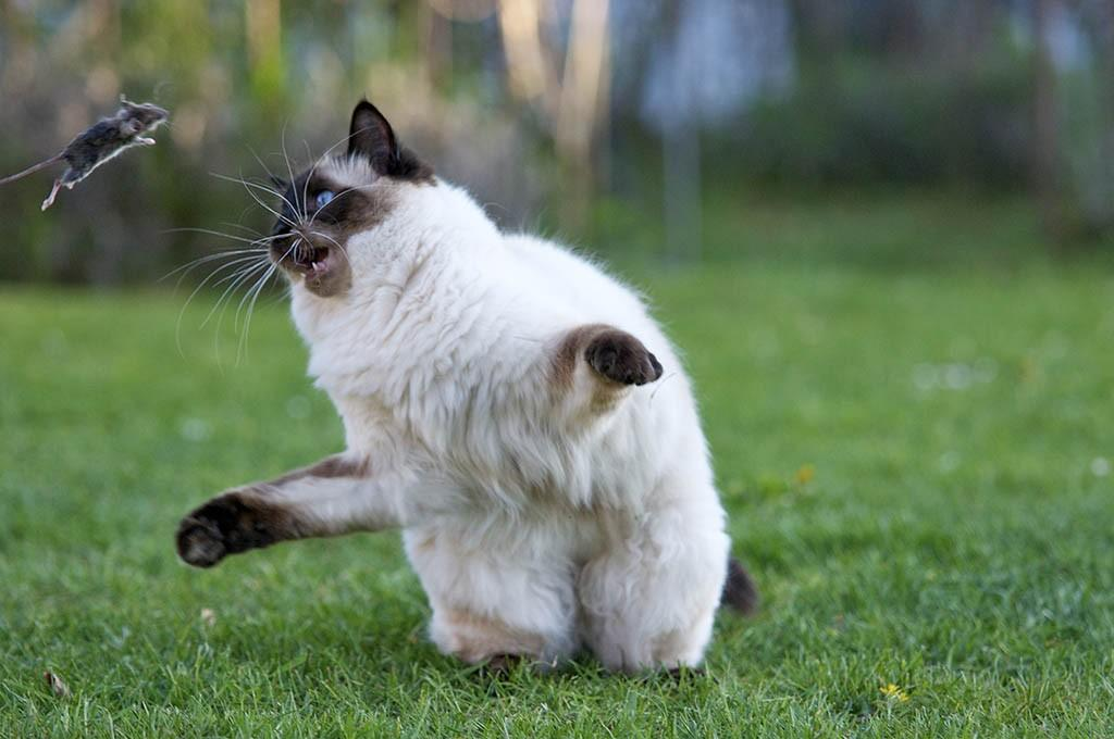 Une super souris attaque un chat grâce à l'intermittent fasting