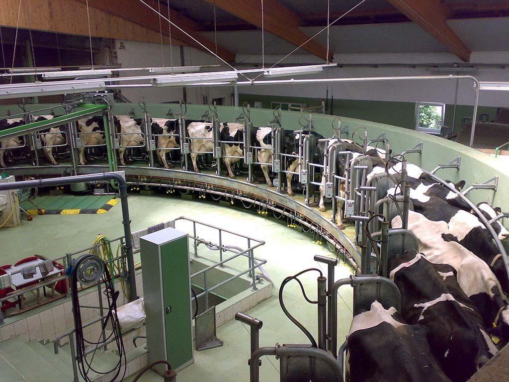 L'industrie laitière : des vaches traites à la chaine