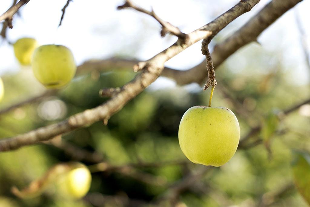 Une pomme sur un arbre - Exemple d'un aliment naturel