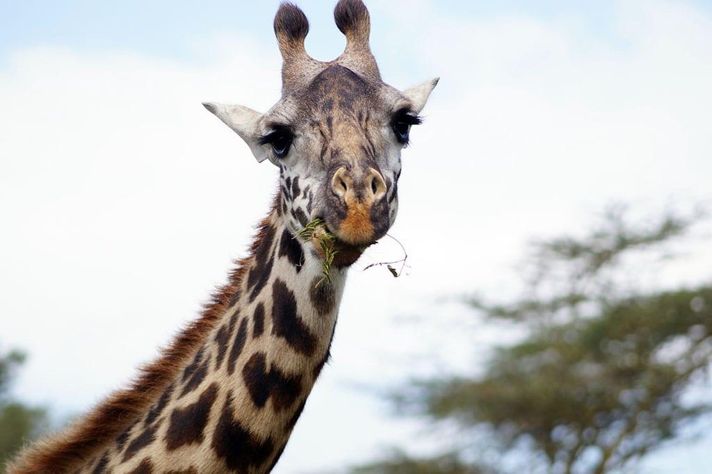 Une giraffe en train de mâcher. Mâcher correctement permet de mieux digérer.