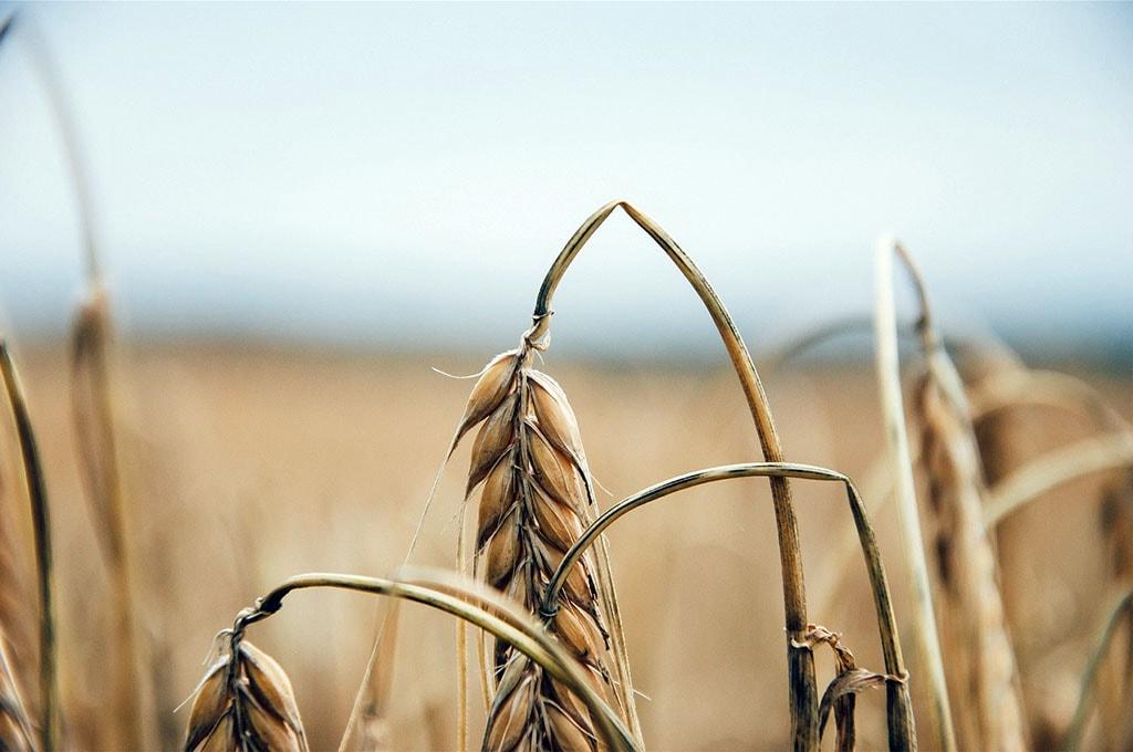 Épis de blé avant sa récolte et son raffinage pour fabriquer du pain ou des pâtes