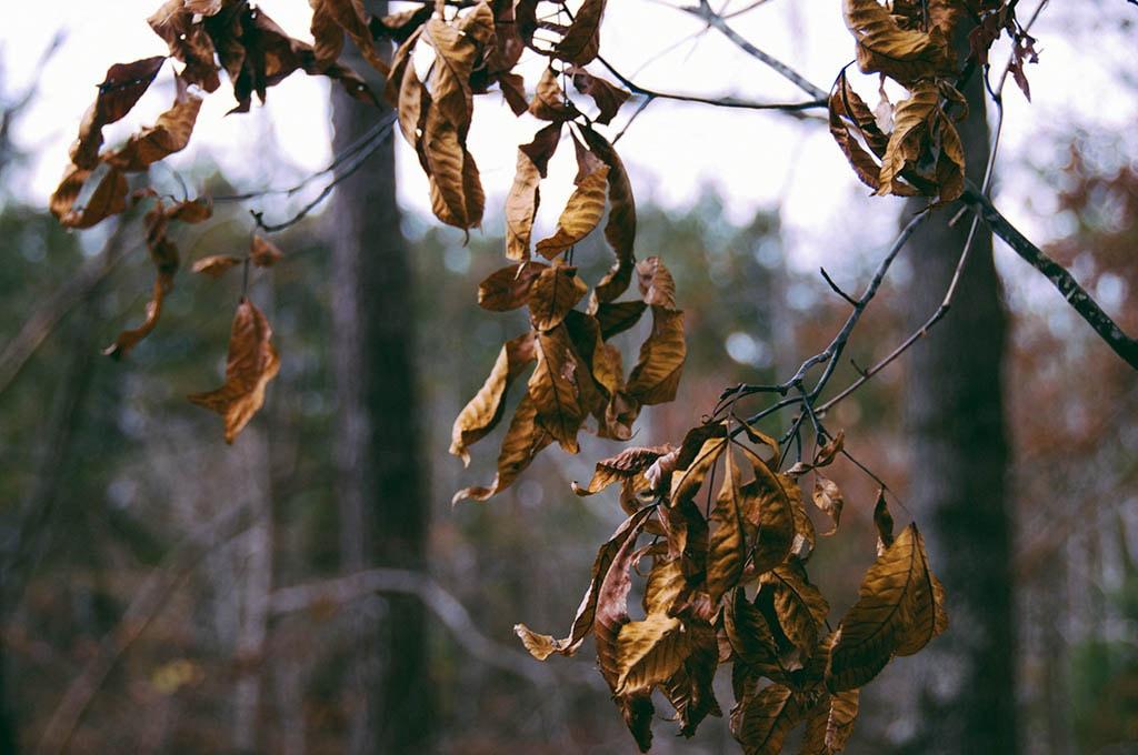 Feuilles mortes sur une branche, durant l'hiver la vitamine se fait rare