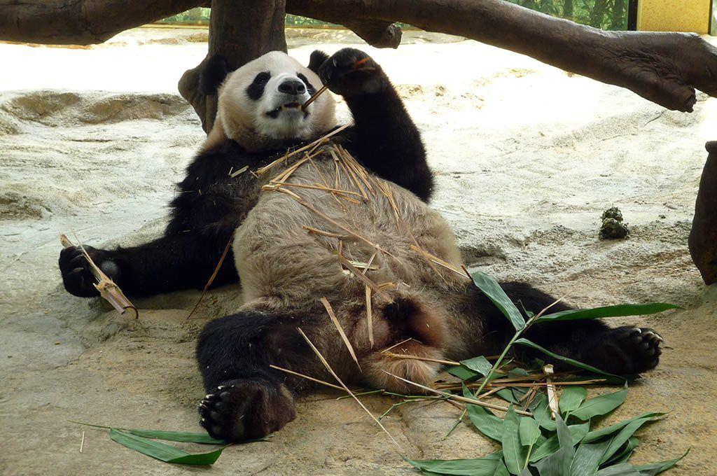 Un panda se repose, comme après une soirée arrosée d'alcool