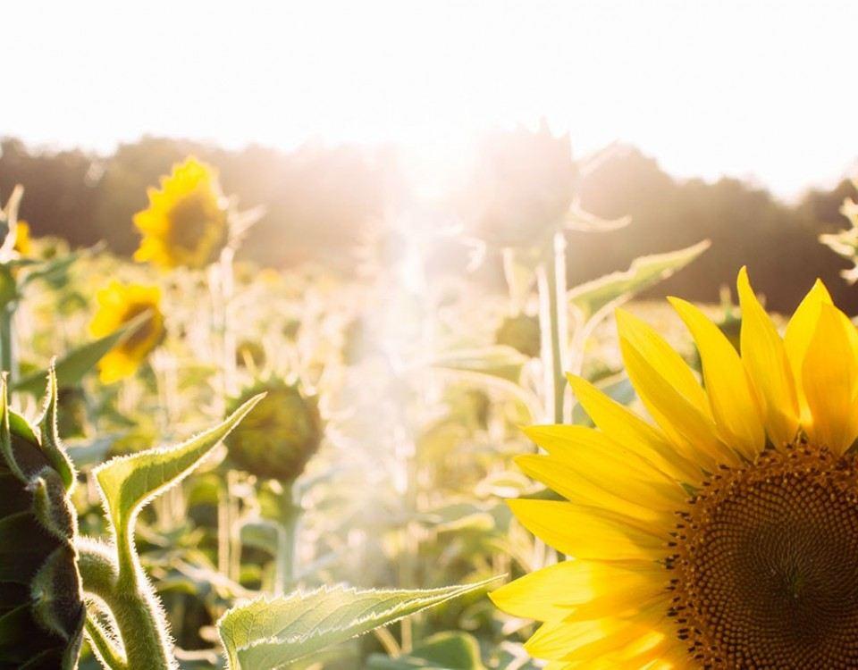 Champ de tournesols sous les rayons du soleil - Vitamine D