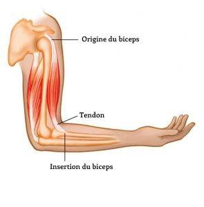 origine-insertion-muscles